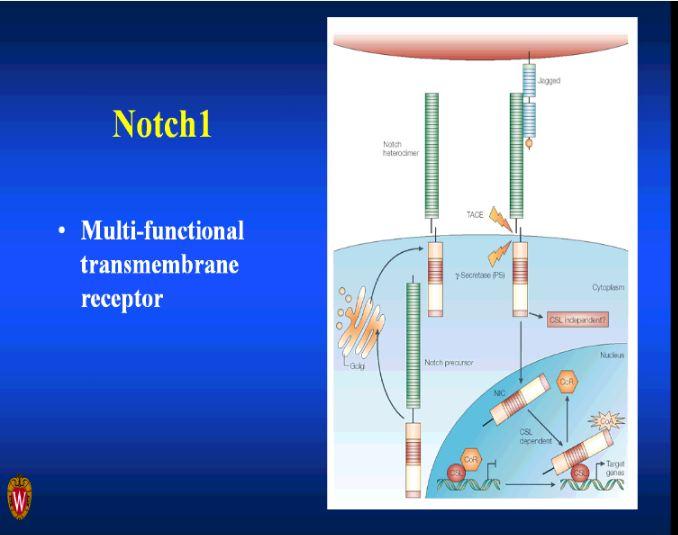 Notch 1 Signaling Pathway